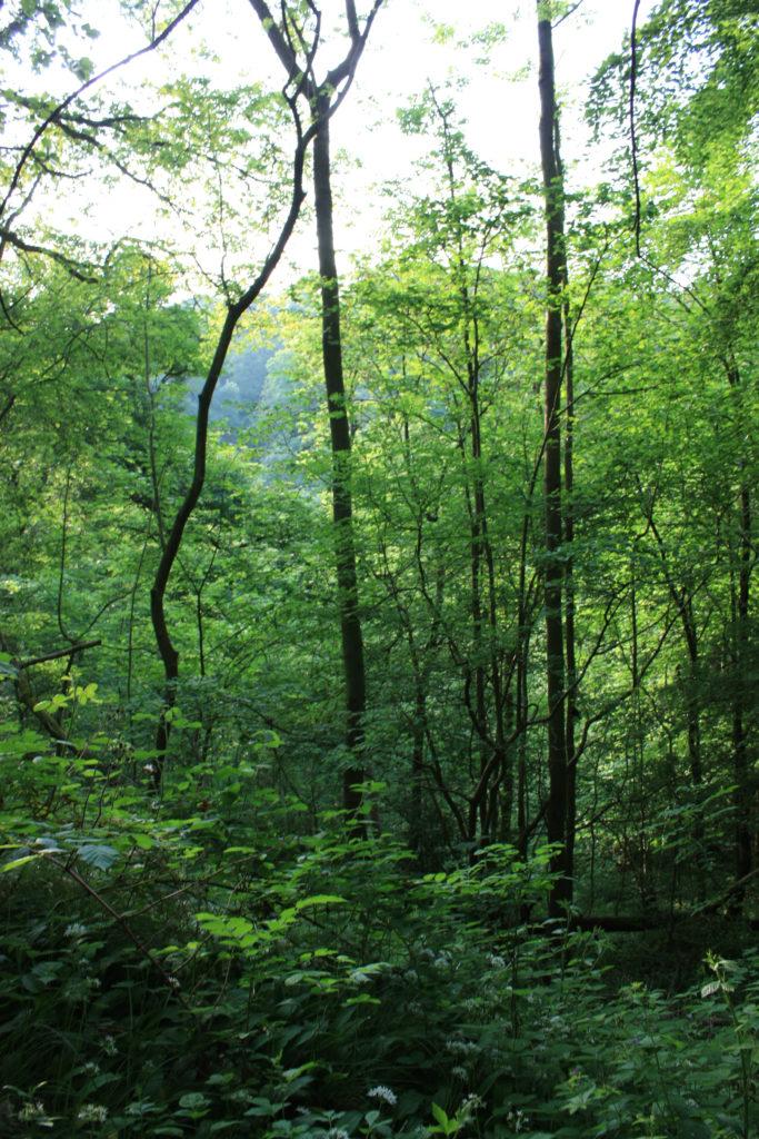 Castle Eden Dene towering trees